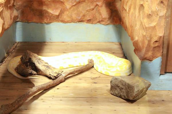 アクアテラス錦ヶ丘のビルマニシキヘビの画像