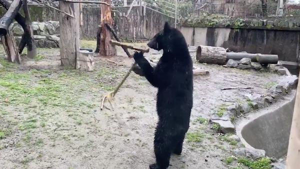 八木山動物公園のクマのつばさの画像