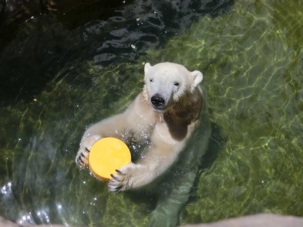 八木山動物公園のホッキョクグマの画像